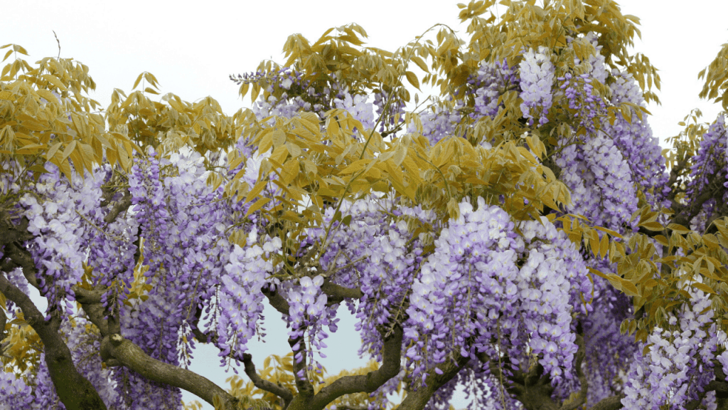 How to Stop Wisteria From Growing